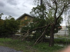 台風16号のあとの街路樹
